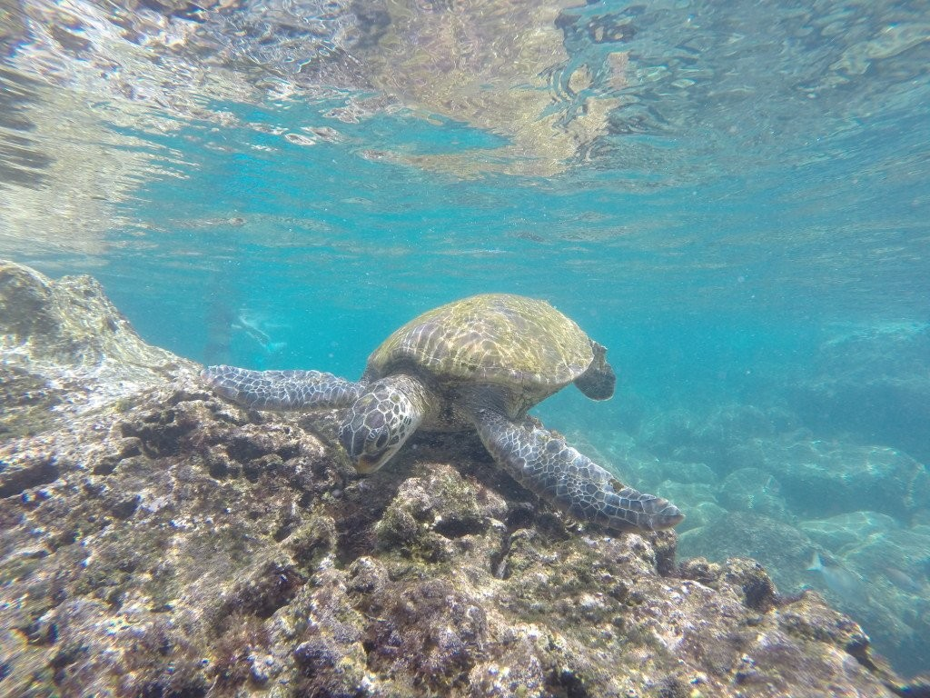 Honu in Ko Olina. Photo by Ken Muise